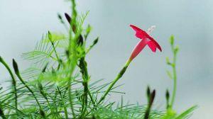 茑萝什么时候开花