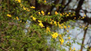棣棠花的繁殖方法