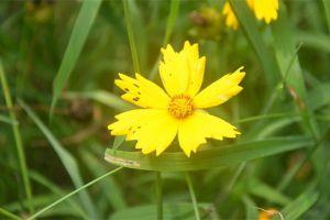 大花金鸡菊常见虫害及防治方法
