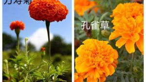 万寿菊和孔雀草的区别