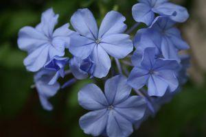 蓝花丹的养殖方法和注意事项