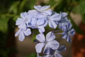 蓝花丹的花语及传说