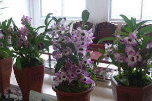 红花石斛有哪些繁殖方法