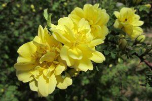 黄刺玫品种大全