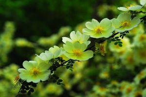黄刺玫什么时候开花