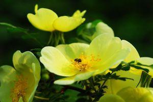 黄刺玫的病虫害及其防治