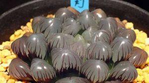 冰灯玉露的养殖方法