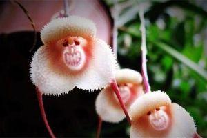 猴面小龙兰的养殖方法