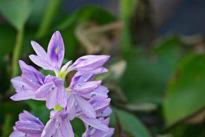 凤眼蓝的花语及价值