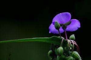 紫露草的价值