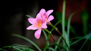 韭菜莲的繁殖方法