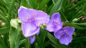 紫露草的常见品种