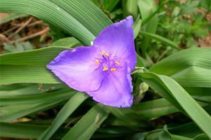 紫露草什么时候开花