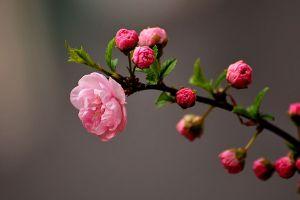 榆叶梅的病害及防治方法