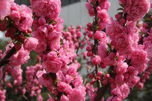 榆叶梅的花语及作用