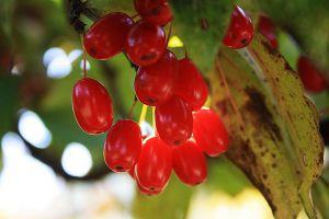 山茱萸的养殖方法和注意事项