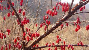 山茱萸的繁殖方法