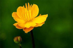 金莲花的花语及传说