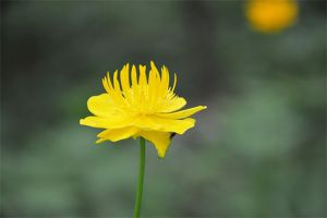 金莲花的品种大全
