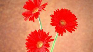 非洲菊的繁殖方法