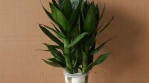 莲花竹的养殖方法和注意事项