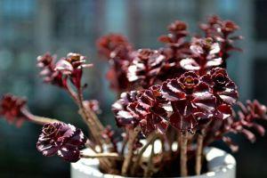 小球玫瑰的养殖方法和注意事项