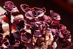 小球玫瑰叶子干枯是什么原因