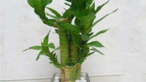 水培莲花竹怎么养