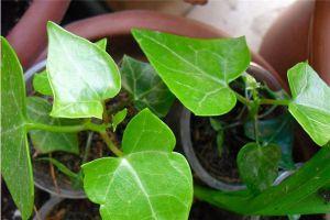 金玉菊的养殖方法