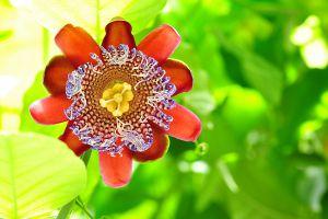 西番莲的病害及防治方法