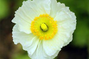 白色罂粟的花语和传说