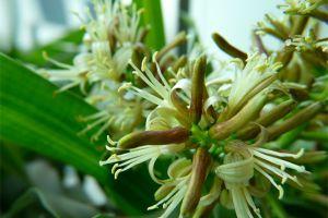 百合竹的家庭养护方法
