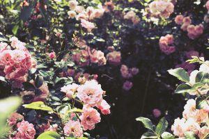 没有南阳台,这15种花也能繁花似锦
