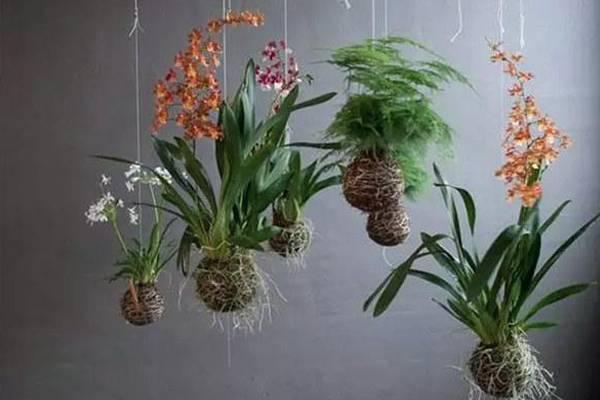 25款吊起来养的植物