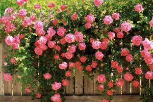16种攀藤植物做成花墙或门廊,简直美呆了
