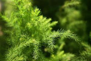 文竹枝枯病和黄化病的防治方法