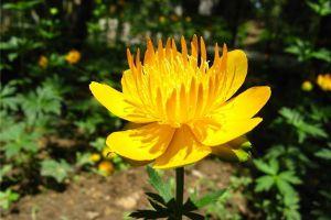 盆栽金莲花的养殖方法