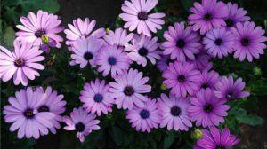 紫色的花有什么寓意