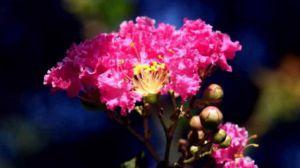 紫薇花的药用价值