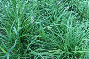 麦冬草的药用功效