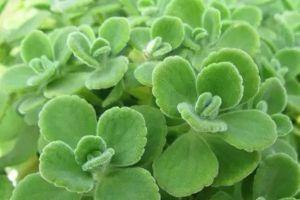 最常见的香草植物,你种过几种