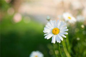 雏菊的花语及传说