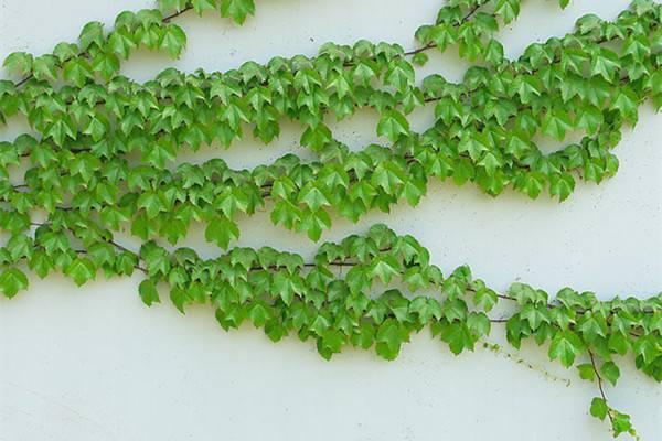 5种必选爬藤植物,观花赏果能食用