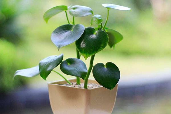荷叶椒草的养殖方法和注意事项
