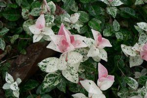 花叶络石的繁殖