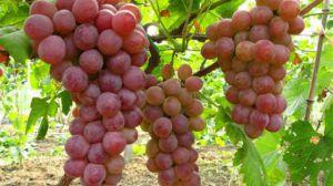 常见葡萄品种大全
