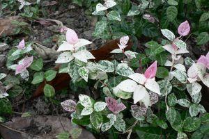 花叶络石的病虫害及其防治