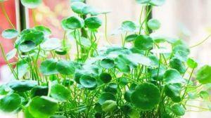 懒人水培植物有哪些