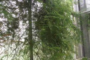 吊兰文竹也能养成瀑布