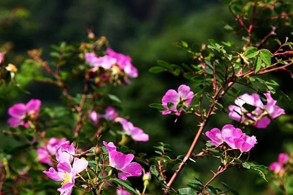 缫丝花的养殖方法和注意事项